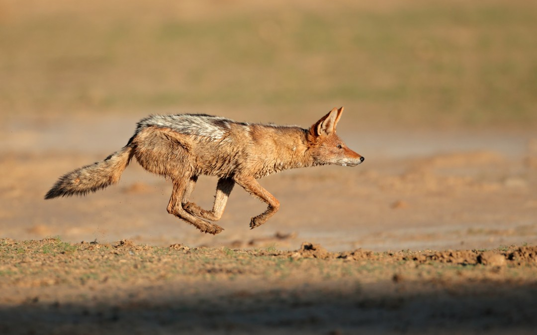 Blog - Euthanize the Jackal
